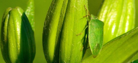 A green shield bug