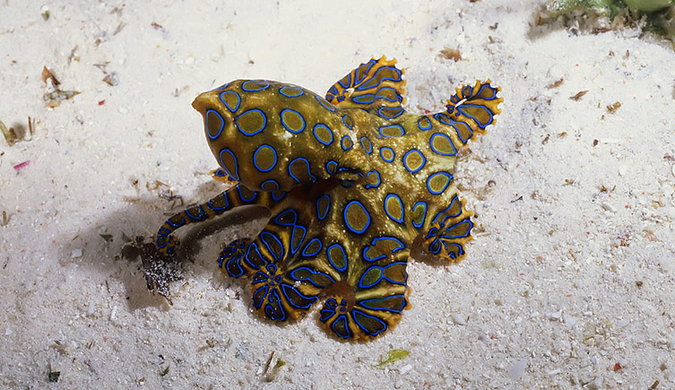 A blue-ringed octopus on the sea bed