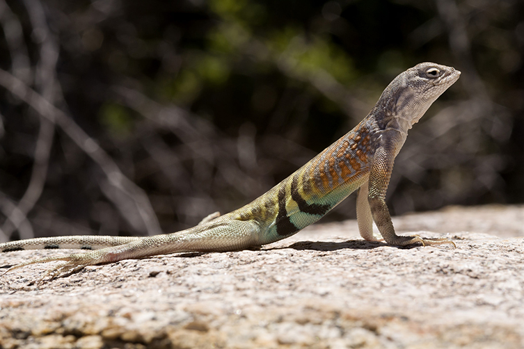 A greater earless lizard on a rock