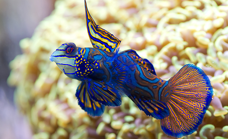 A bright blue mandarin fish