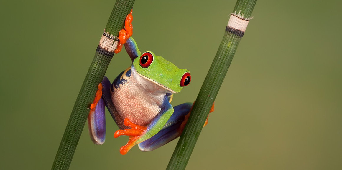 A red-eyed tree frog