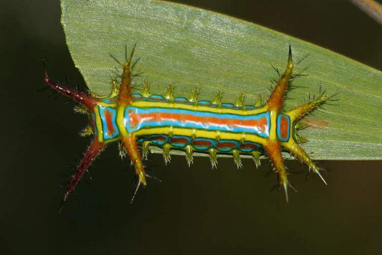 A wattle-cup caterpillar on a leaf