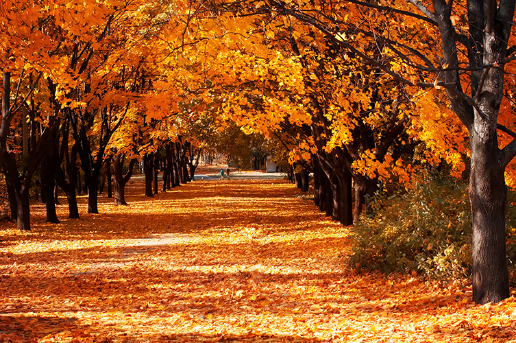 A tree-lined avenue bright with orange leaves