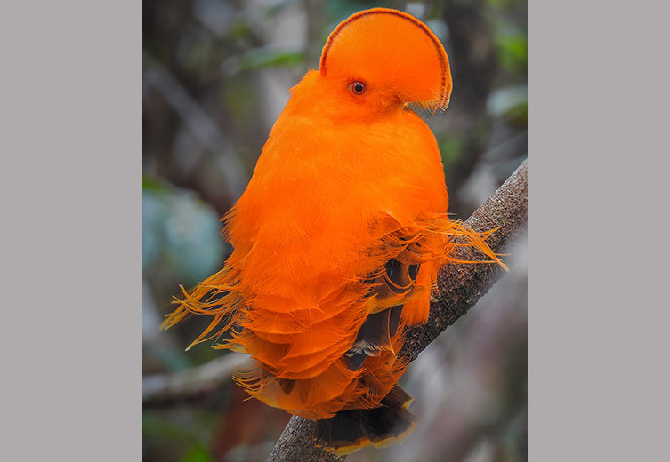 Guianan cock-of-the-rock with bright orange feathers