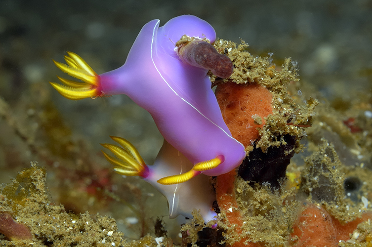 Purple, while and yellow form of Hypselodoris bullockii