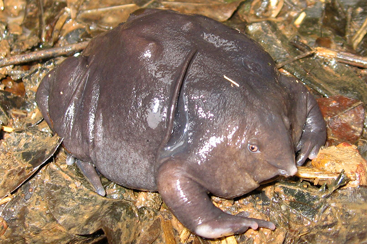 Fat, brownish-purple frog with a snout-like nose