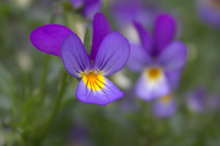 Purple and yellow wild pansy