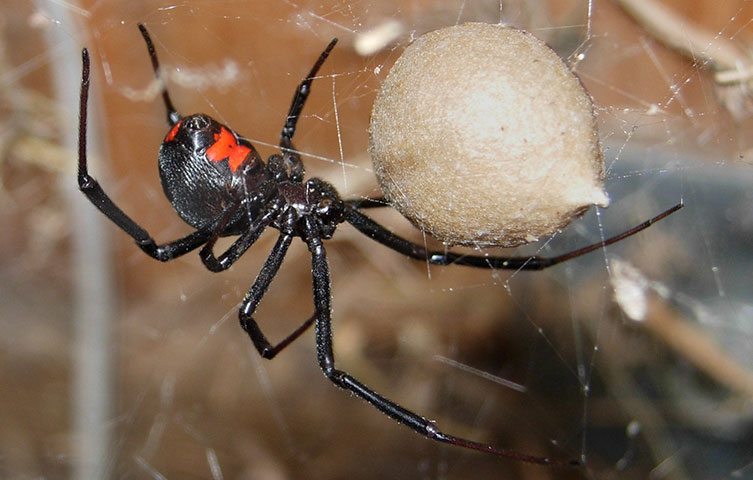 Black widow spider guarding an egg case