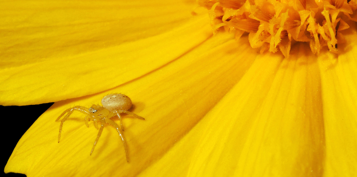 A yellow crab spider on a flower