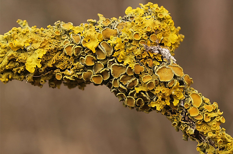 Yellow lichen