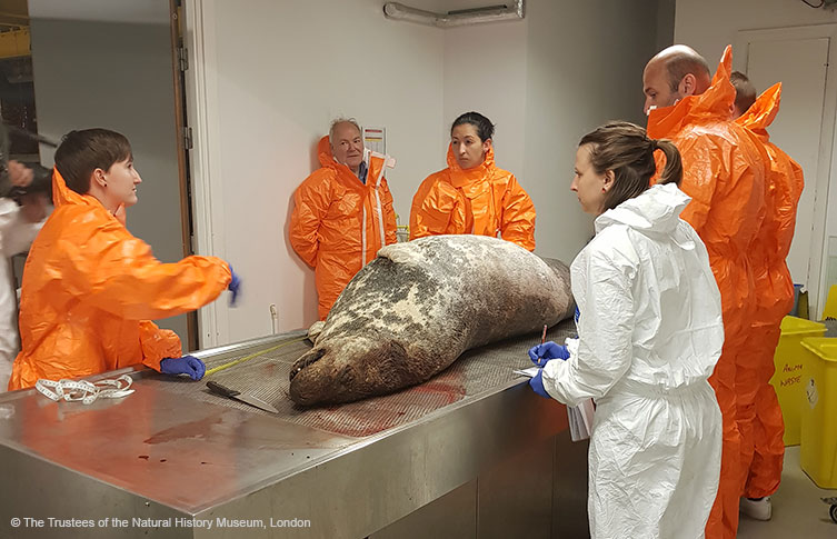 Museum scientists prepare to dissect the grey seal specimen