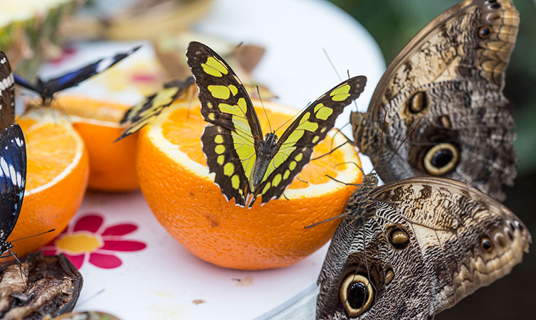 Butterflies feeding on fruit