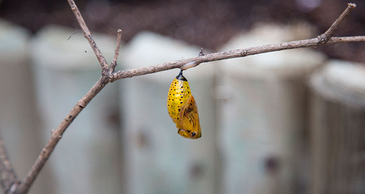 Pupa hanging on a tree