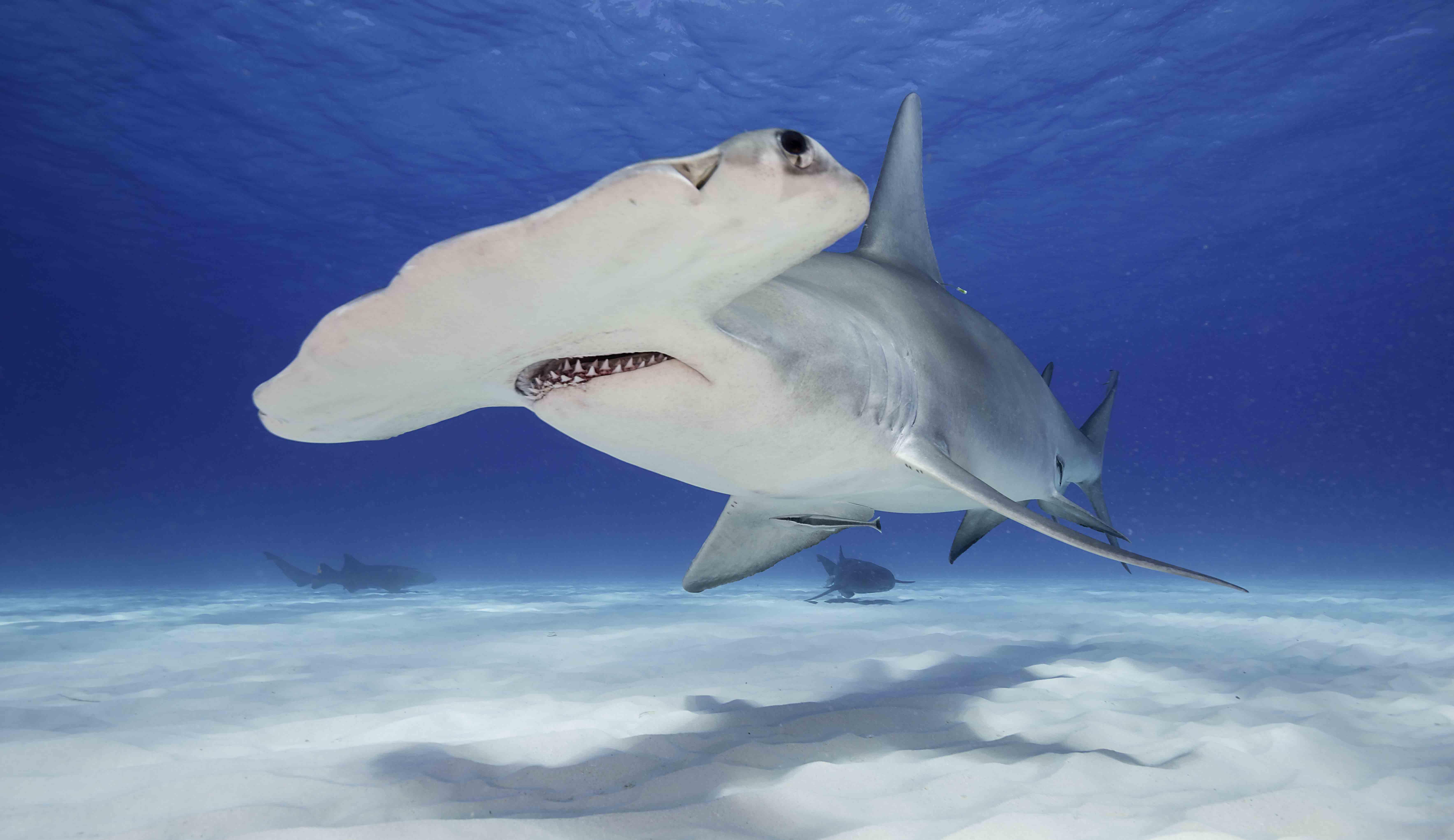 requin-marteau-deux colonnes