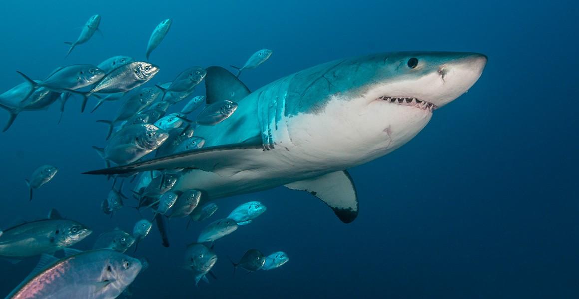 Shark Evolution A 450 Million Year Timeline Natural History Museum