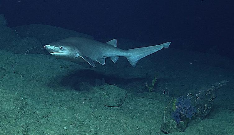 Les requins Hexanchiforme ont évolué il y a environ 195 millions d'années