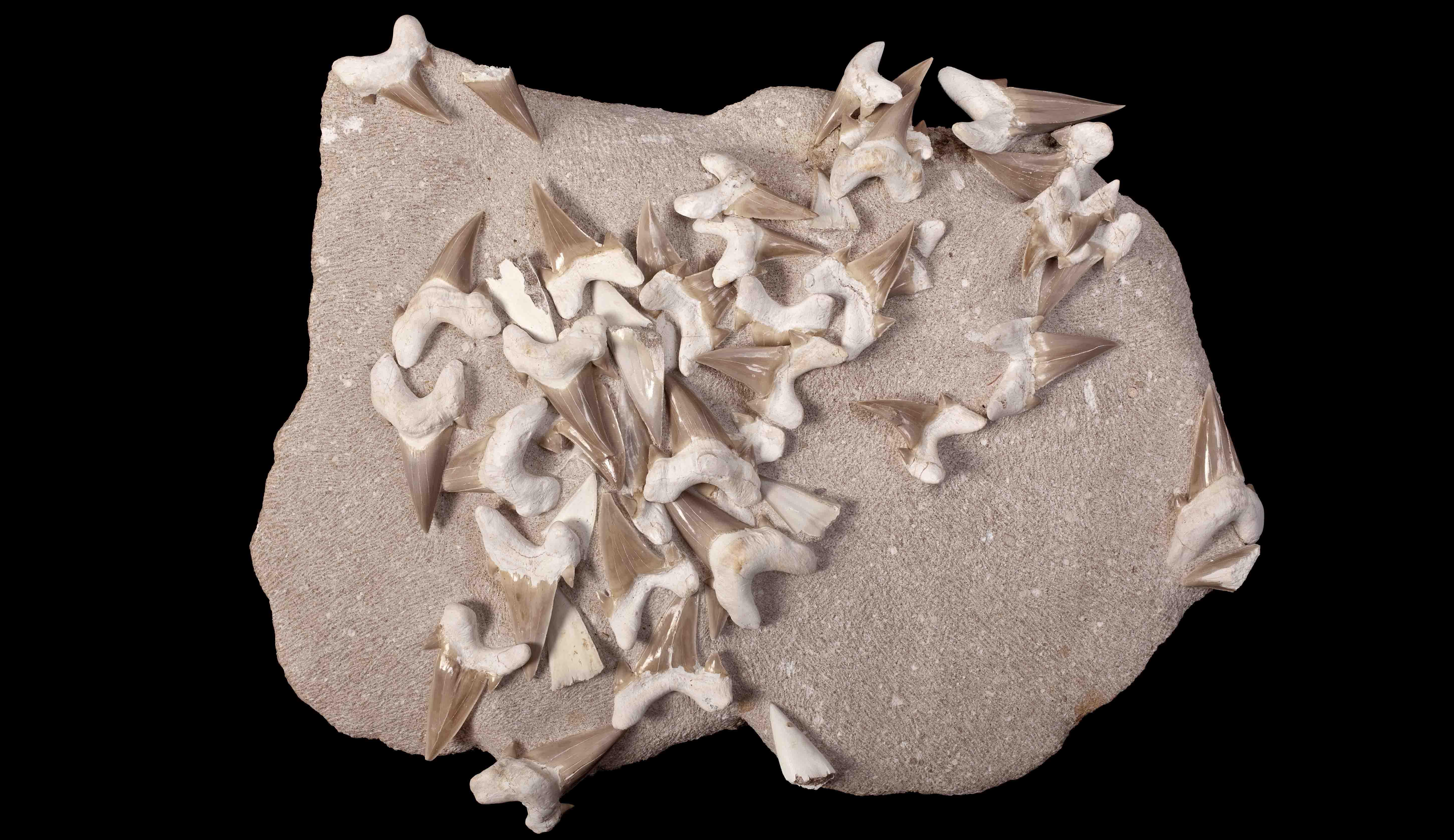 Les dents de requin sont les fossiles les plus communs trouvés