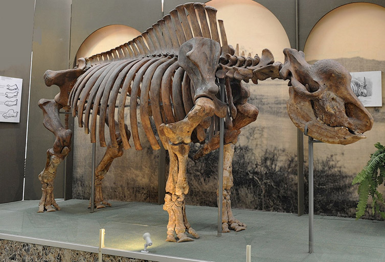 Fossil skeleton of the Siberian unicorn