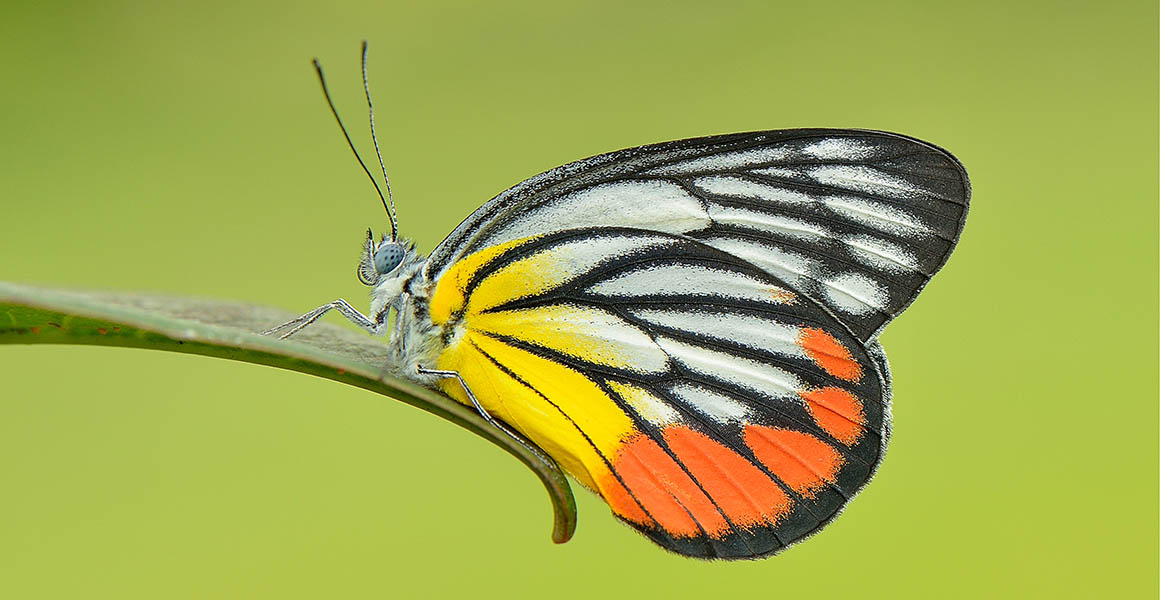 Almost half of butterfly species in Singapore have disappeared