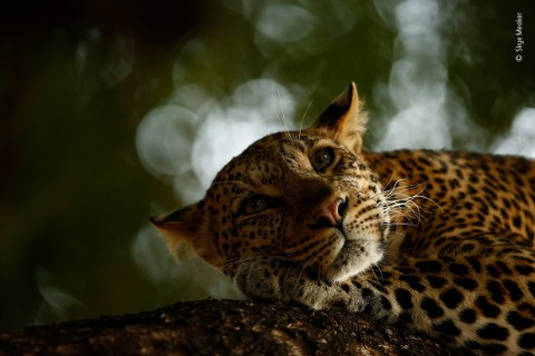 Portrait of a leopard by young photographer Skye Meaker
