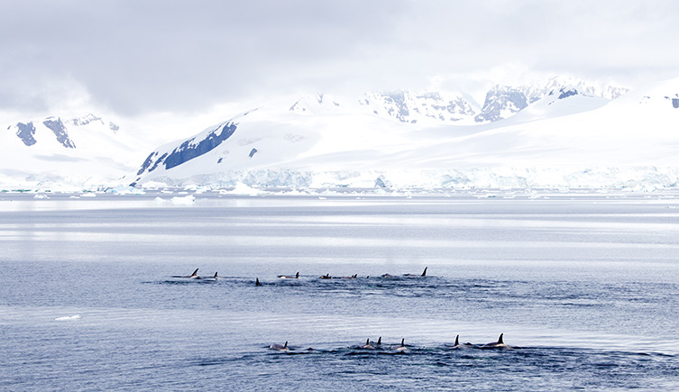 A pod of killer whales in the Gerlache Strait, Antarctica