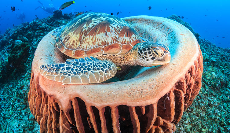 A turtle resting on barrel sponge