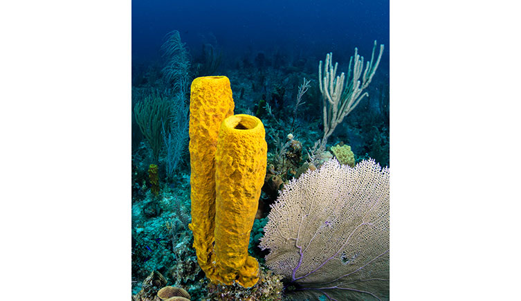 Yellow sea sponges