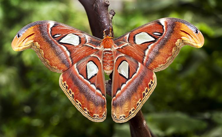 Image result for atlas moth