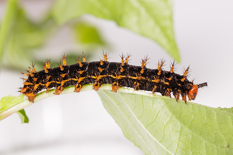 A great eggfly caterpillar