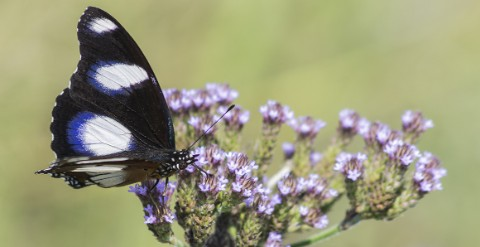A male great eggfly