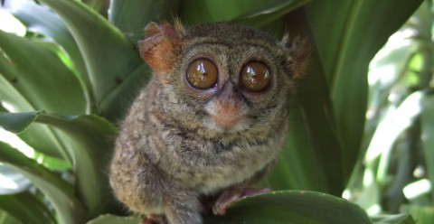 A spectral tarsier in the daylight