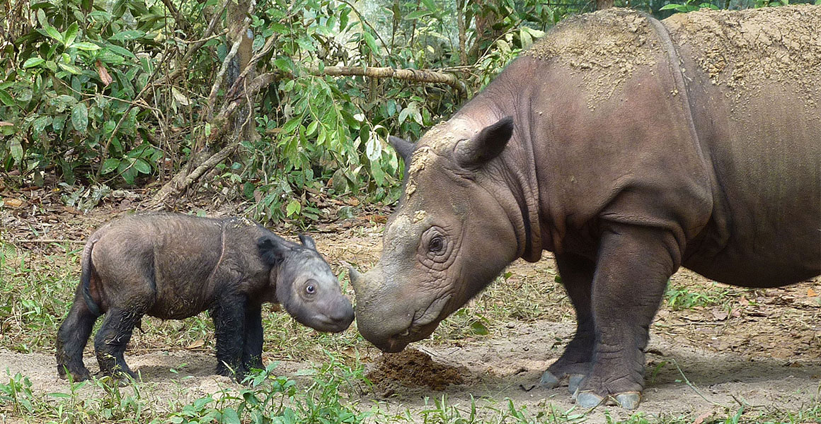 How Malaysia lost its rhinos
