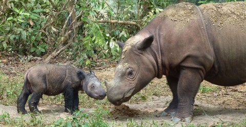 Mother and calf Sumatran rhinos touch horns