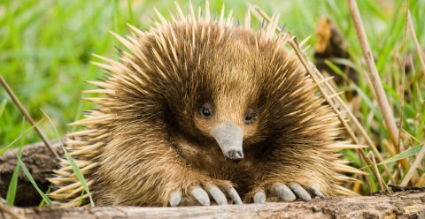 A short-beaked echidna peers over a log.