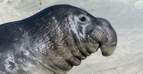 A side view of an adult elephant seal's face