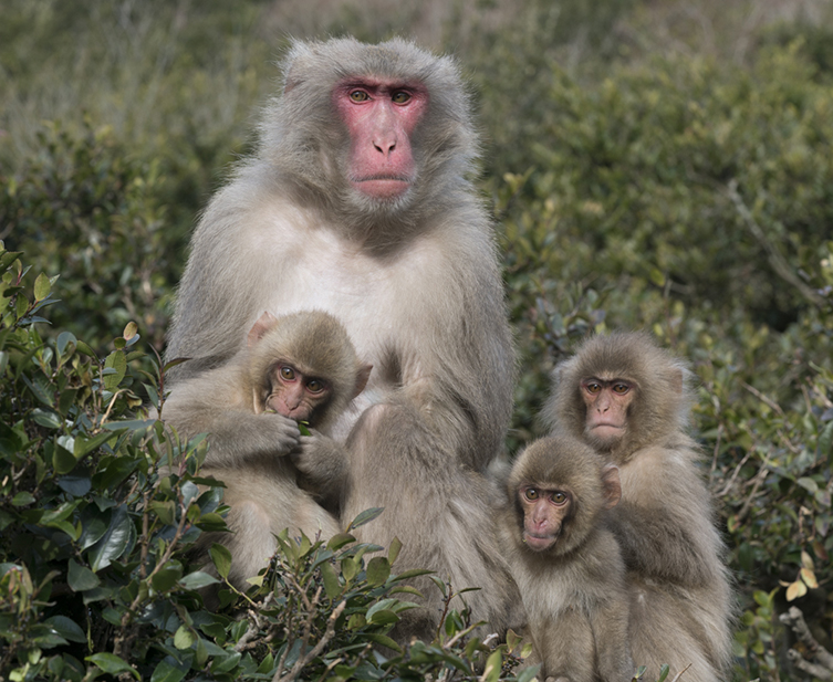 A family of snow monkeys