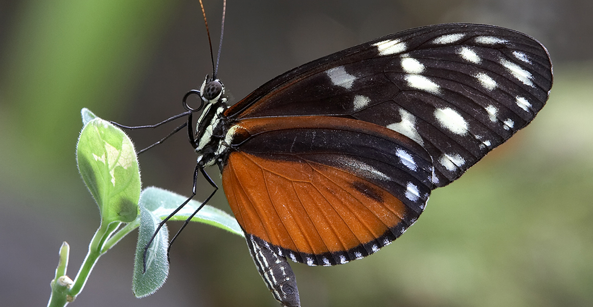 A tiger longwing butterfly