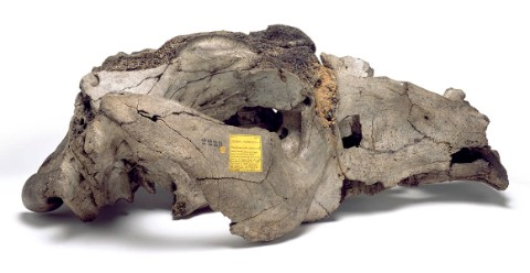 The skull of Toxodon