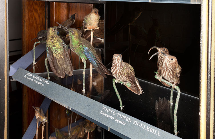 Several of the hummingbirds in their case before restoration