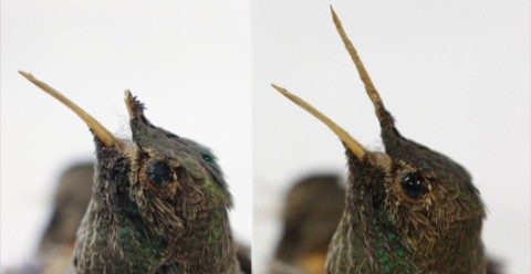 Left: a hummingbird specimen before cleaning and with a broken beak. Right: a hummingbird specimen cleaned and with a recreated beak