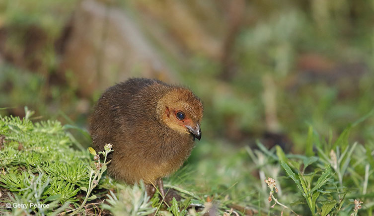 brush-turkey-chick-gerry-pearce-two-column