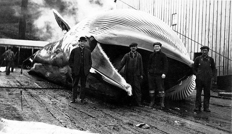 The number of whales stranding declined whenhunting was most intense.