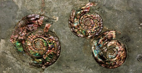 Fossil ammonites with a colourful sheen