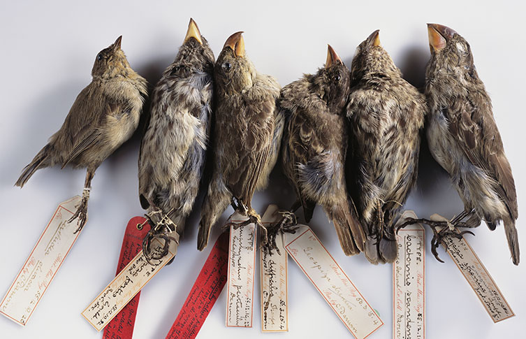 Finches collected by Darwin from the Galapagos Islands