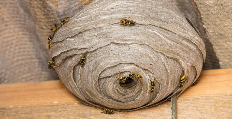 why do wasps build nests natural history museum