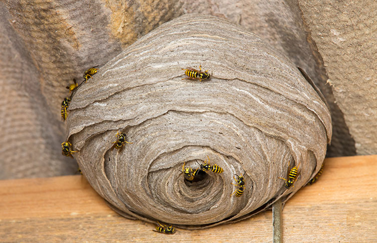 the wasps nest essay The european wasp essays: over 180,000 the european wasp essays one european wasp nest has the potential to wipe out several thousand insects.