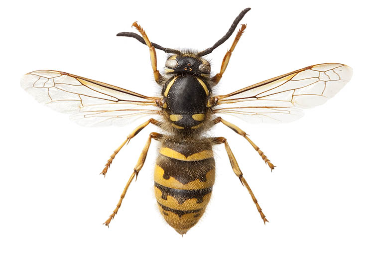 A common wasp specimen from the Museum collections.