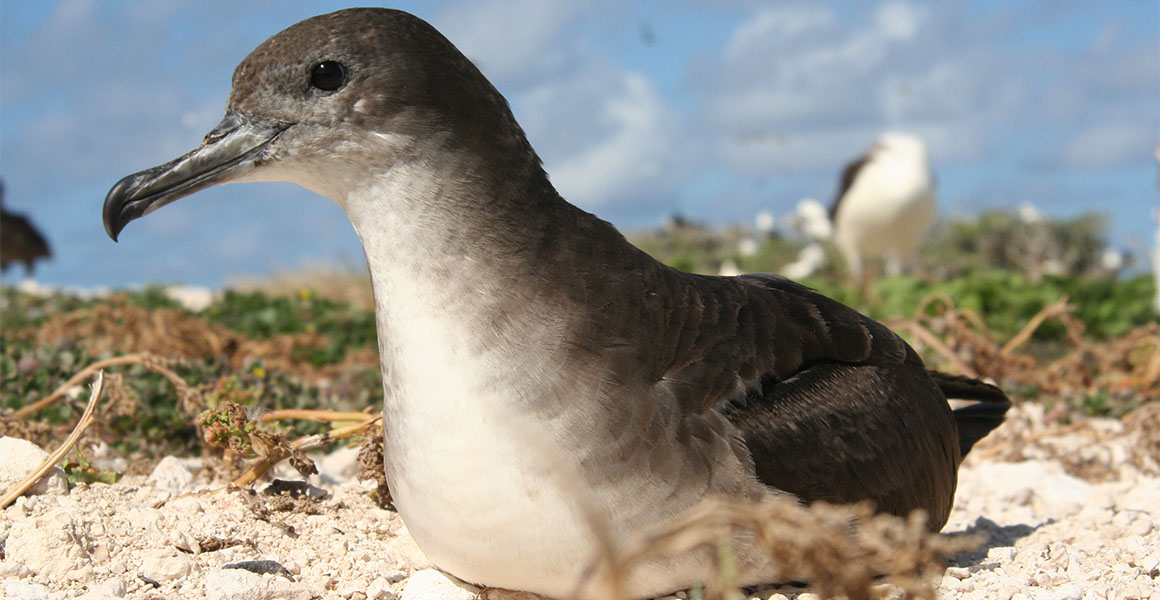 A wedge-tailed shearwater resting on the ground.