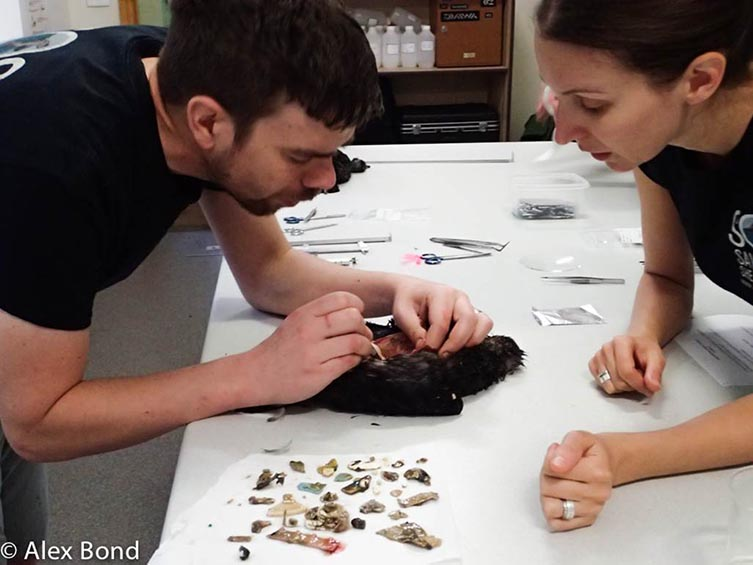 Dr Alex Bond and a colleague examine the contents of a dead bird's stomach, collecting plastic as they go.