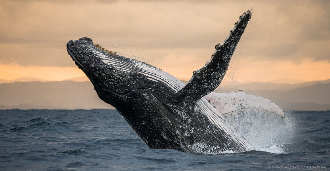 Whale earwax reveals how much humans can stress out marine mammals